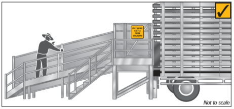 Work with cattle from the walkway and ensure the ramp has no trapping spaces