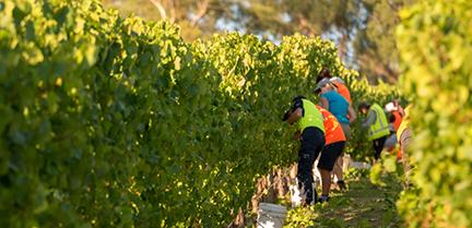 Labourers working in a vineyard